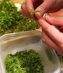 木の芽2011 005.JPG
