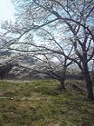 吉川さん桜の木2009.4.15.JPG