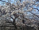 吉川さん桜2009.4.15.JPG